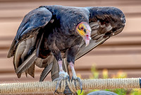 07-20 Yellow Head Vulture--3