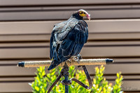 07-20 Yellow Head Vulture--2