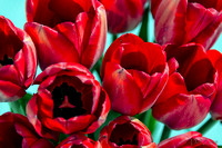 Sunshine Tulips-