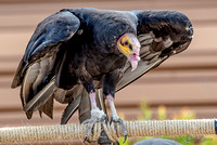 07-20 Yellow Head Vulture--5